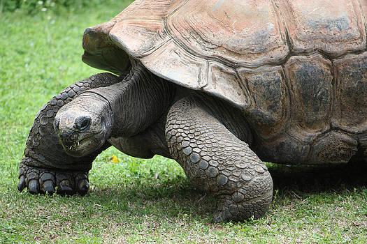The Aldabra Tortoise by Christine Adachi