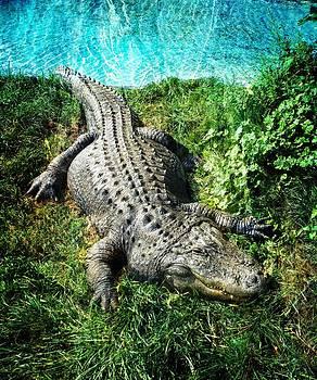 Ray Van Gundy - The Alligator
