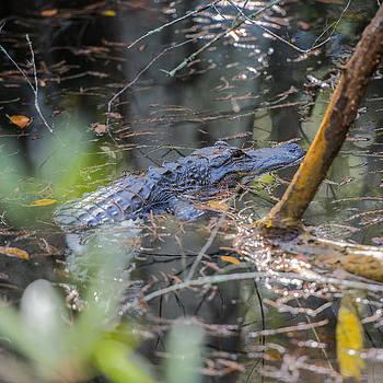 Thomas Schreiter - the alligator