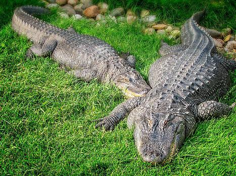 Ray Van Gundy - Alligators