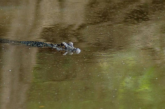 The American alligator in the Flint River by Kim Pate