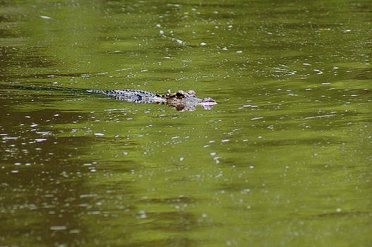 The American alligator by Kim Pate