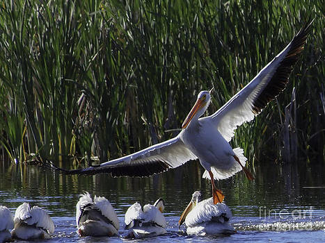 Tim Moore - The American White Pelican