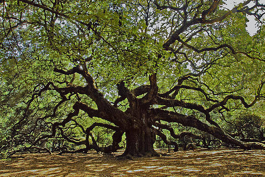 The Angle Oak by Will Burlingham
