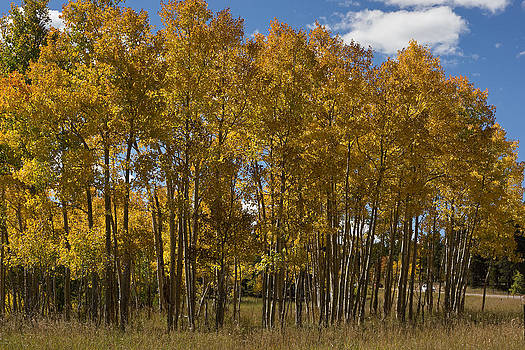 The Aspens by Linda Storm