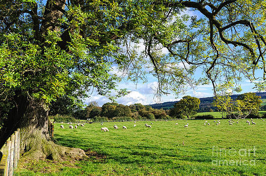 David Hill - The Beautiful Cheshire countryside - large oak tree frames a field of lambs