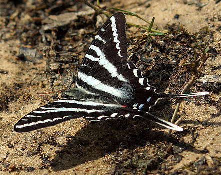 The beautiful Zebra Swallowtail Butterfly by Kim Pate
