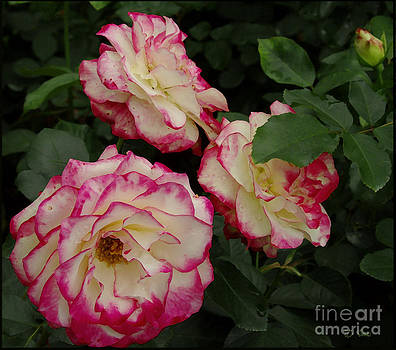 The Beauty Of Nature / Roses by James C Thomas