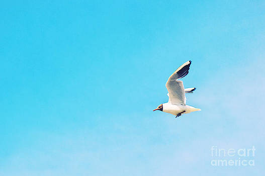 Angela Doelling AD DESIGN Photo and PhotoArt - The Black Headed Gull