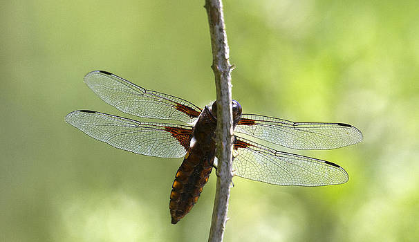 The Broad-bodied Chaser  Libellula depressa by Bob Kemp