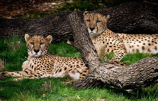 The Cheetahs by Swift Family
