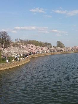 The Cherry Blossom Festival in D.  C by Jeanette Rode Dybdahl