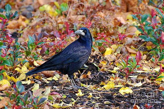 Joe Cashin - The Crow