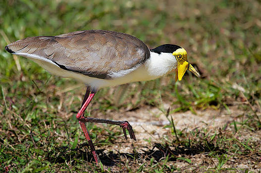 The curious Masked Plover by Mr Bennett Kent