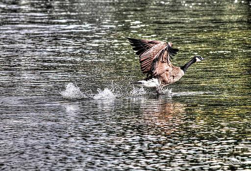 The Departure - Canada Goose by Skye Ryan-Evans