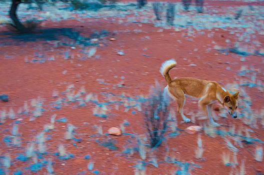 The Dingo by Ross Carroll
