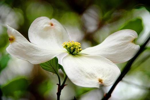 The Dogwood by Charlie and Norma Brock