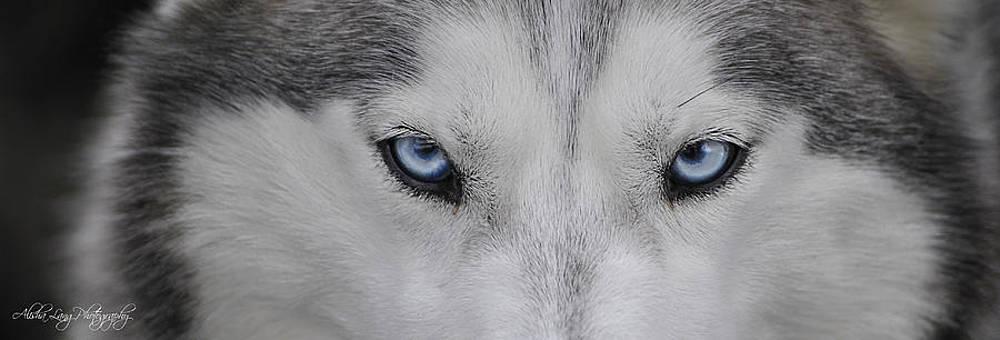 The Eyes of a Husky by Alisha Lang