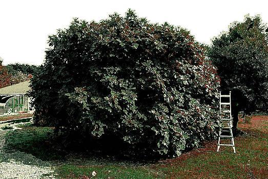 The Fig Tree by Gabriel Jeane