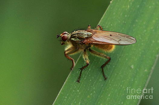 The fly ? by Peter Skelton