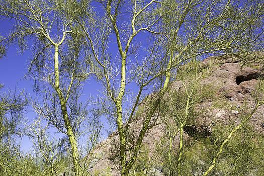 The Foothill Palo Verde Cercidium microphyllum by Jodi Jacobson