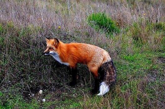 The Fox by Annie Pflueger