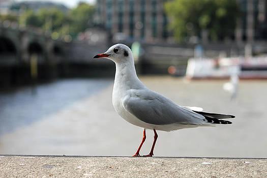 Steve K - The Gentleman Seagull