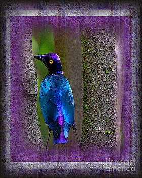 The Glorious Purple Glossy Starling by Don Melton