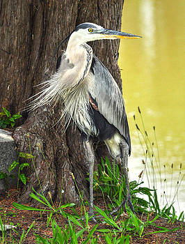 The Great Blue Heron by Donnie Smith