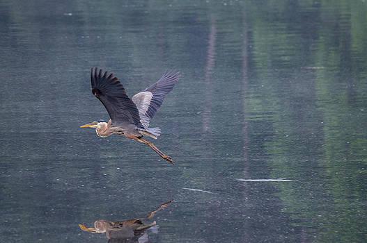 The Great Blue Heron by Jens Larsen