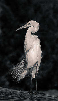 The Great Egret by Chris Modlin