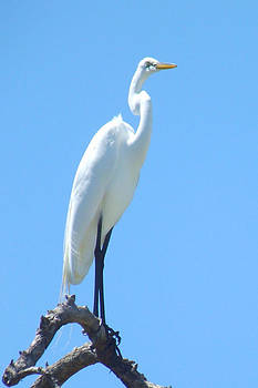 The Great Egret by Tammy Olson