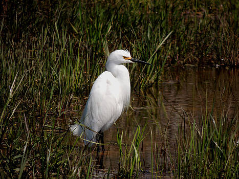 The Great White Heron by Kim Pate