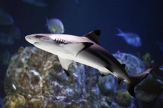 The grey reef shark - Carcharhinus amblyrhynchos by Goyo Ambrosio