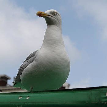 Steve K - The Gull on the Roof