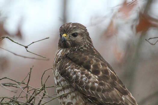The Hawk by Charlotte Craig