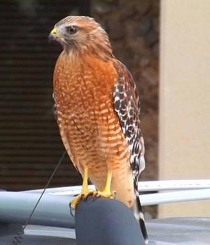 The Hawk  by Michael  Siers