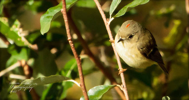 The Kinglet Displays His Crown by Stanley Lupo