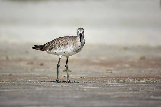 The Laughing Gull by George Ferreira