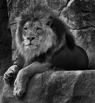 The Lion by D Plinth