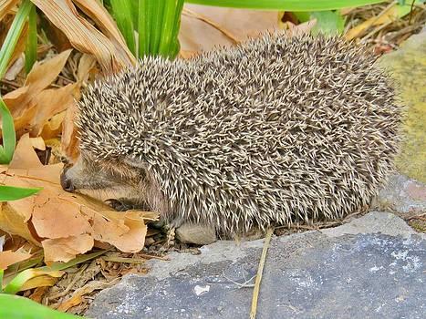 Rick Todaro - The Little Hedgehog
