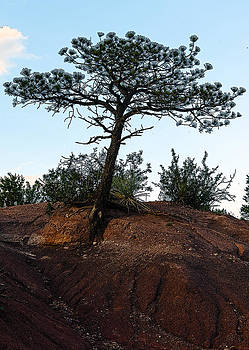 The Lonesome Pine by Greg Reed
