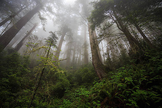 The Mist California Redwoods Photograph by Jarred Decker