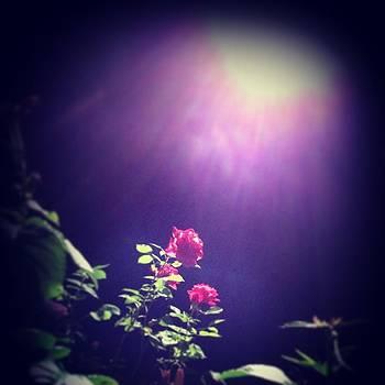 The Moonlight Rose by Daniel Fontana