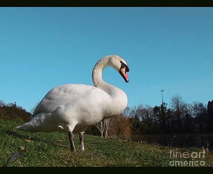 Joe Cashin - The Mute swan