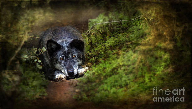 Angel Ciesniarska - the old and not too bad wolf