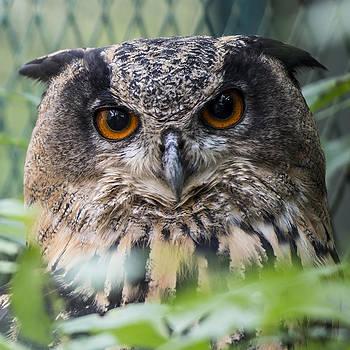 Thomas Schreiter - the Europeaneagle owl