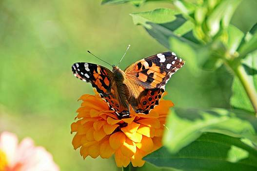 The Painted Lady and the Zinnia by David Earl Johnson