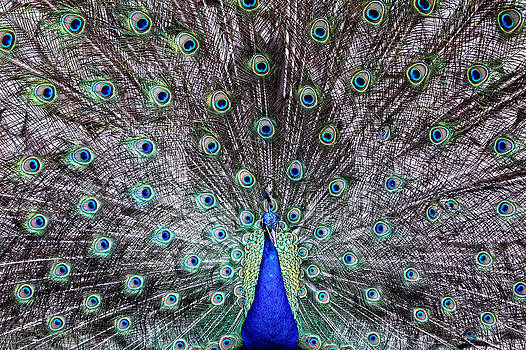 The peacock courtship by Goyo Ambrosio