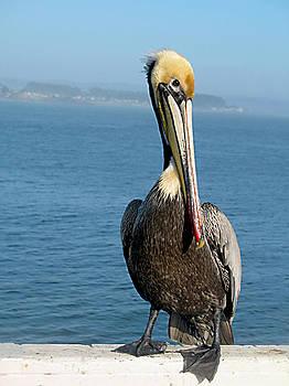 The pelican by Danielle Allard